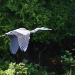 Great Blue Heron on the Allagash River Canoe Trip
