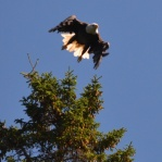 Bald Eagle on the Allagash