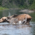 Maine Moose on the Allagash