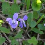 Allagash flora