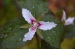 Allagash Flora is Abundant/Trillium