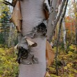 Maine-birch-bark (1)