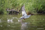 Allagash Canoe Trip Common Merganser in flight